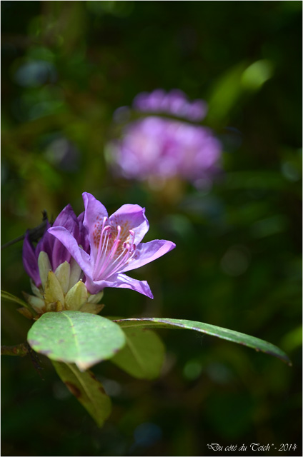 BLOG-DSC_28366-rhododendron domaine de Grenade