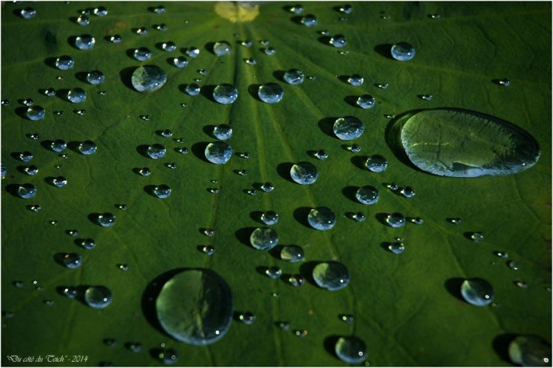 BLOG-DSC_2394-gouttes de pluie feuille lotus