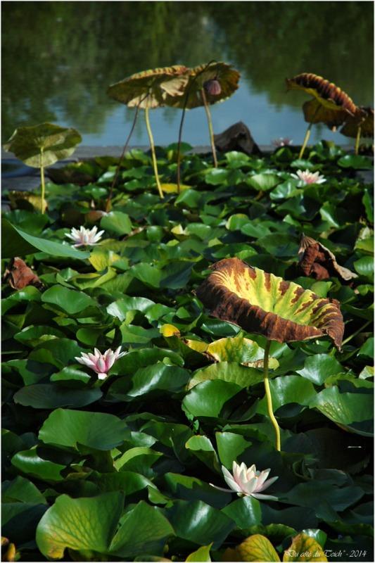BLOG-DSC_2395-nymphéas et lotus jardin botanique Bordeaux Bastide