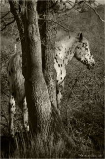 BLOG-DSC_34194-cheval Appaloosa le Teich sépia
