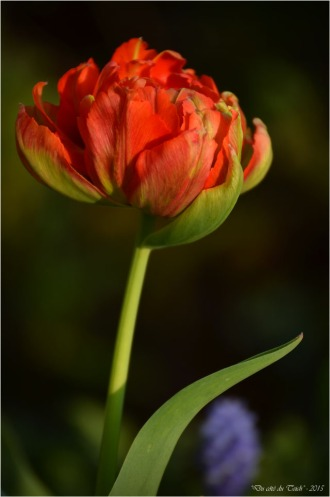 BLOG-DSC_34548-tulipe et muscari