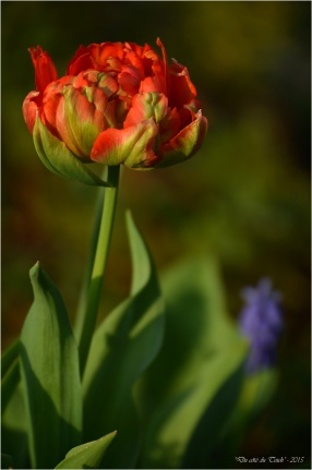 BLOG-DSC_34549-tulipe et muscari