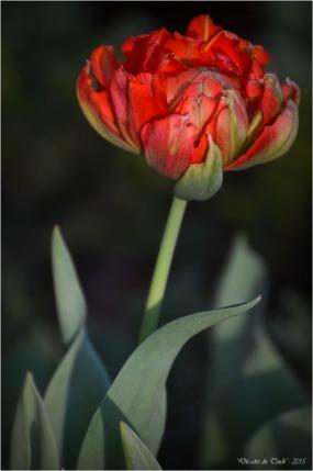 BLOG-DSC_34563-tulipe
