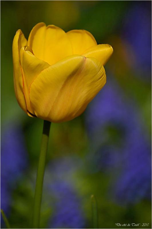BLOG-DSC_34574-tulipe et muscaris jardin Bains Douches Belcier