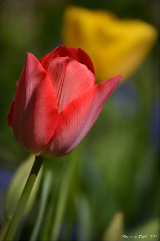 BLOG-DSC_34575-2-tulipes jardin Bains Douches Belcier