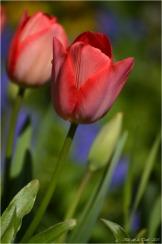 BLOG-DSC_34576-tulipes jardin Bains Douches Belcier