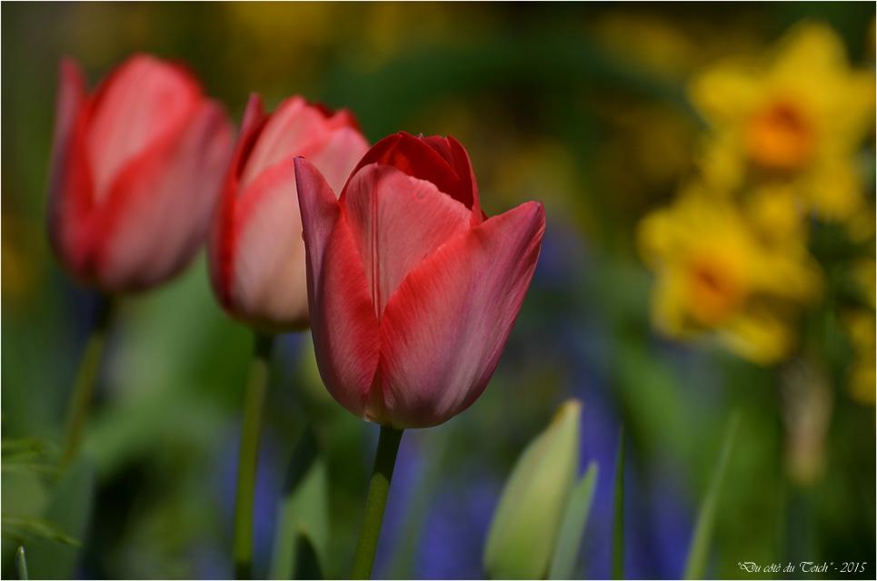 BLOG-DSC_34578-tulipes et jonquilles jardin Bains Douches Belcier