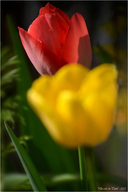 BLOG-DSC_34582-2-tulipes jardin Bains Douches Belcier