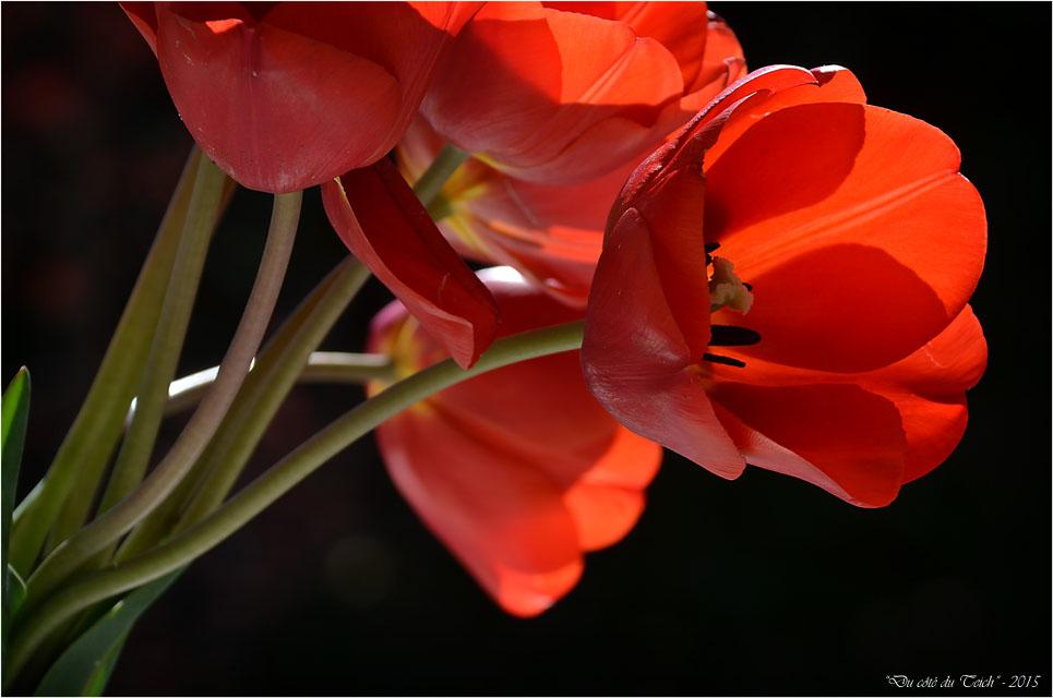 BLOG-DSC_34597-bouquet tulipes rouges 2