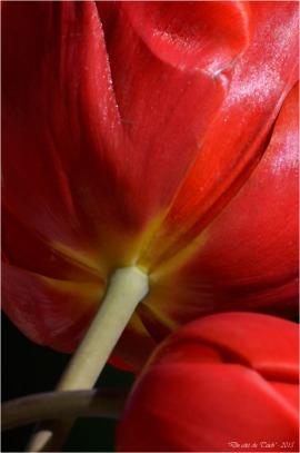BLOG-DSC_34604-bouquet tulipes rouges