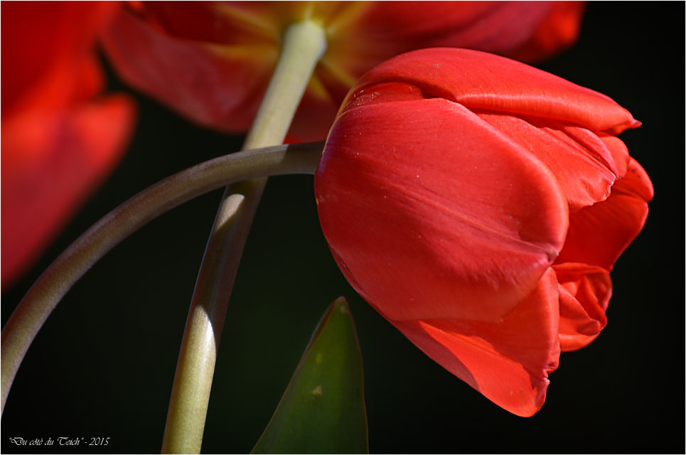 BLOG-DSC_34605-bouquet tulipes rouges