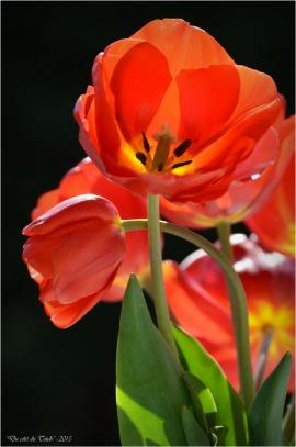BLOG-DSC_34610-bouquet tulipes rouges