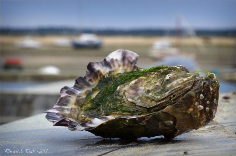 BLOG-DSC_34657-huître et conche du Mimbeau