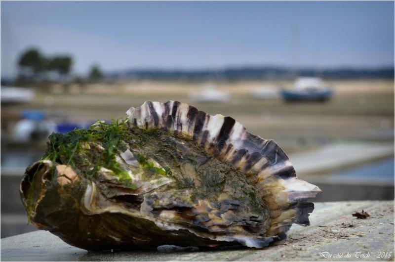 BLOG-DSC_34660-huître et conche du Mimbeau