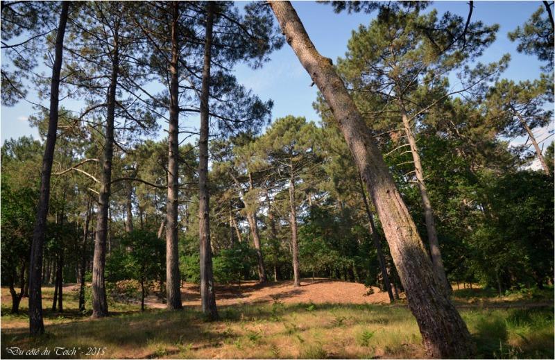 BLOG-DSC_36948-forêt la Teste