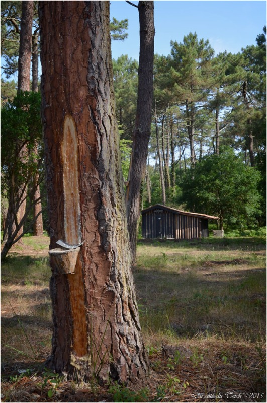 BLOG-DSC_36959-pot gemmage et cabane