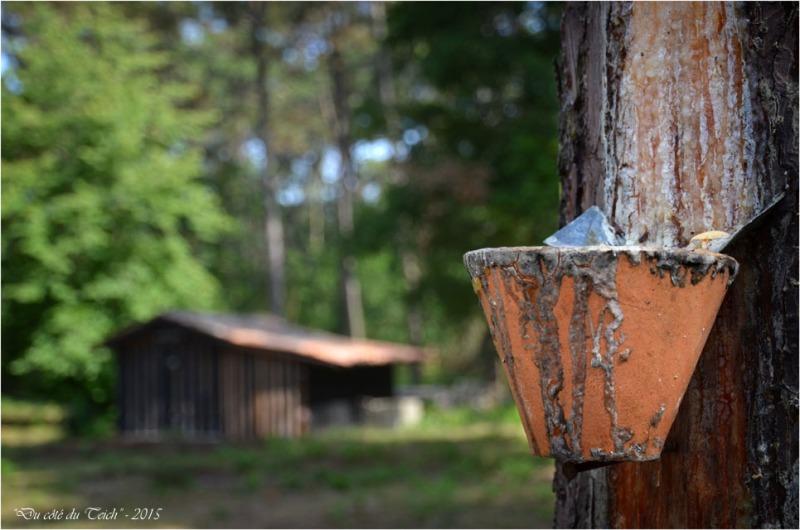 BLOG-DSC_36975-pot gemmage et cabane