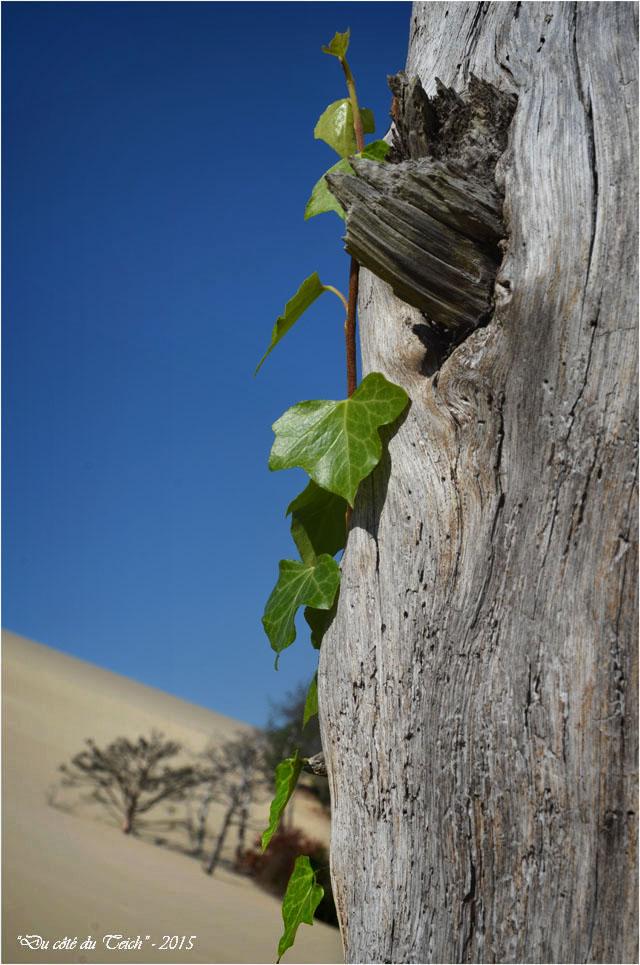 BLOG-DSC_38563-lierre et arbres ensevelis dune Pilat