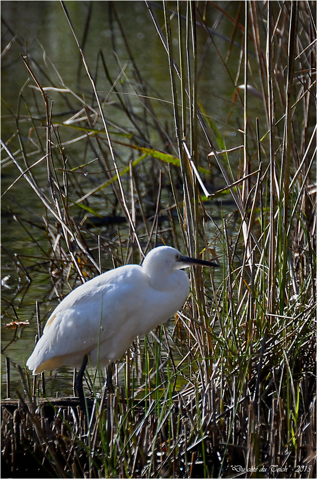 BLOG-DSC_38827-aigrette