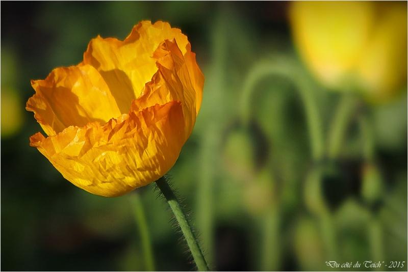 blog-pb232460-pavot-jaune.jpg