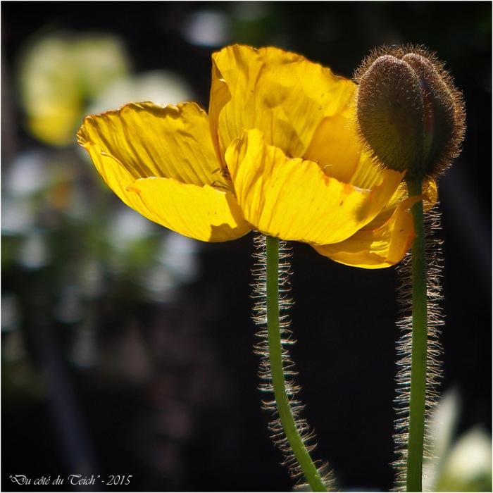 blog-pb232472-pavot-jaune.jpg