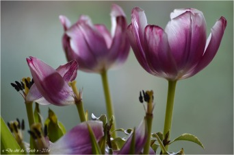 BLOG-DSC_39703-tulipes fanées