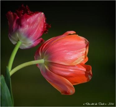 BLOG-DSC_40276-tulipes
