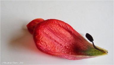 BLOG-P4164328-étamine et pétale tulipe fanée