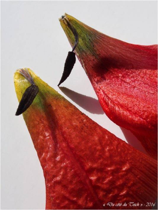 BLOG-P4164333-étamines et pétales tulipe fanée