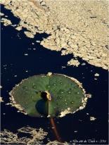 BLOG-P4174343-feuille nymphéa et pollen étang