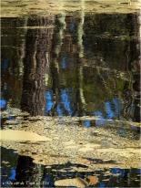 BLOG-P4174344-pollen et reflet forêt sur étang