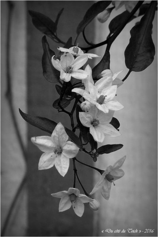 BLOG-P4224401-fleurs cabane Audenge N&B
