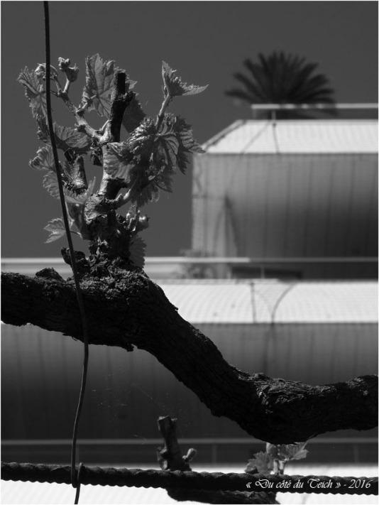 BLOG-P4294429-vigne et palmier N&B