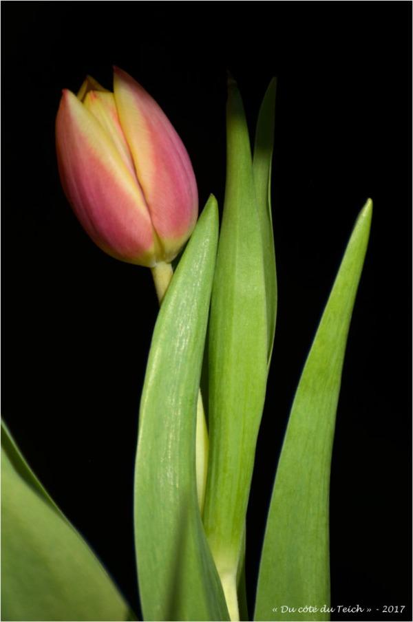 blog-dsc_40968-bouquet-de-tulipes.jpg