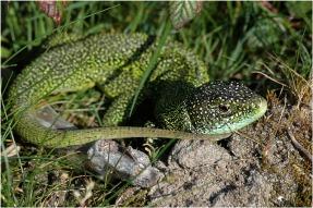 BLOG-DSC_8662-lézard vert plaines du Teich