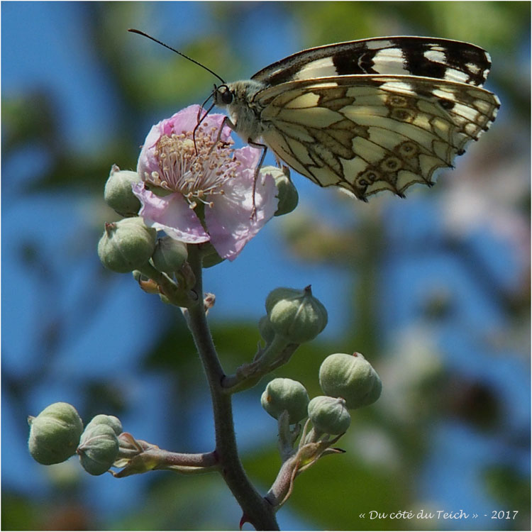 BLOG-P6119721-2-papillon demi deuil sur fleur de ronce