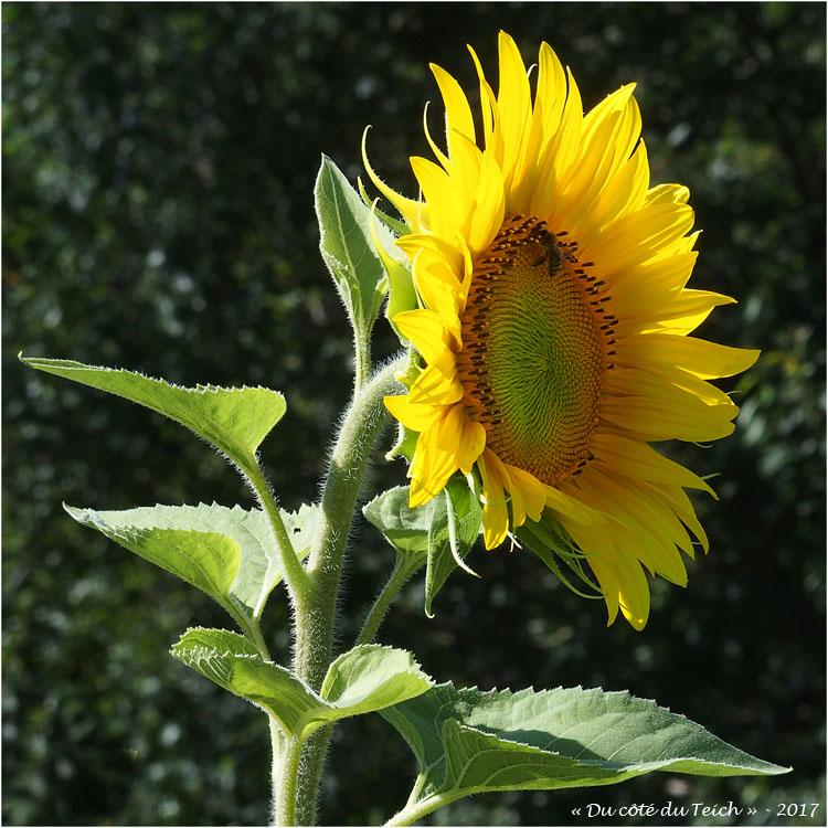 blog-p7110227-2-tournesol-et-abeille.jpg