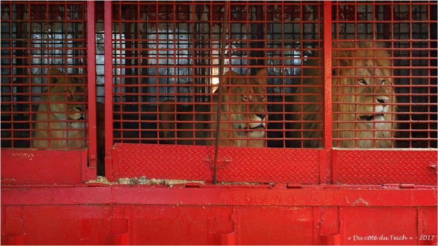 blog-p7200402-comme-des-lions-en-cage.jpg