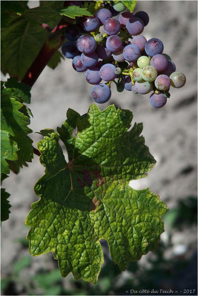 blog-p8010723-vigne-margaux.jpg