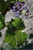 BLOG-P8010723-vigne Margaux