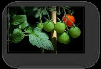image001 - tomates-cerises