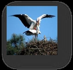 image012-cigognes réserve ornithologique le Teich