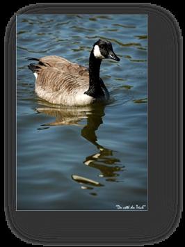 image013-bernache Canada réserve ornithologique le Teich
