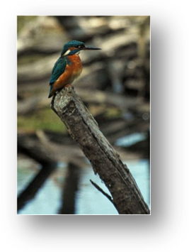 image014-martin pêcheur réserve ornithologique le Teich
