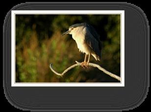 image016- bihoreau réserve ornithologique le Teich