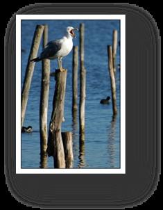 image017-goéland réserve ornithologique le Teich