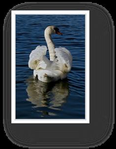 image018-cygne réserve ornithologique le Teich