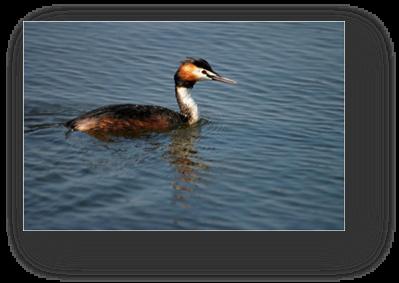 image019-grèbe huppé réserve ornithologique le Teich
