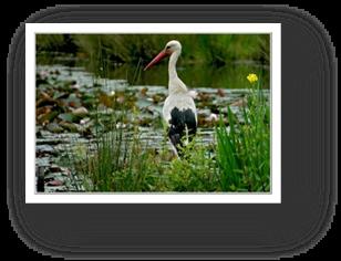 image020- cigogne réserve ornithologique le Teich