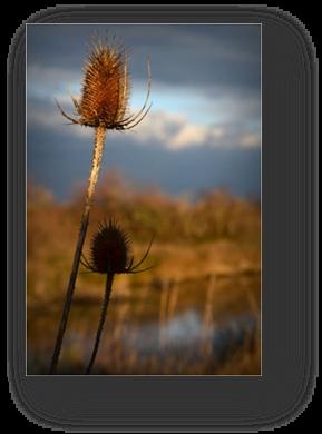 image024-chardons réserve ornithologique le Teich